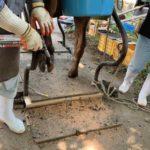 牛の削蹄の様子。農大では削蹄も習います。