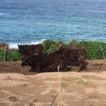 壱岐牛のそだつところ