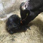 壱岐牛の牧場こやま牧場で生まれた子牛